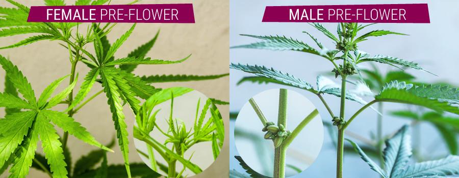 ermafrodita pianta confronto maschio e femmina pre-cannabis fiore