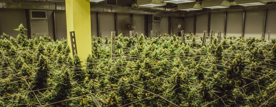 industria della cannabis legalizzazione USA California nuova legge di mercato Trump