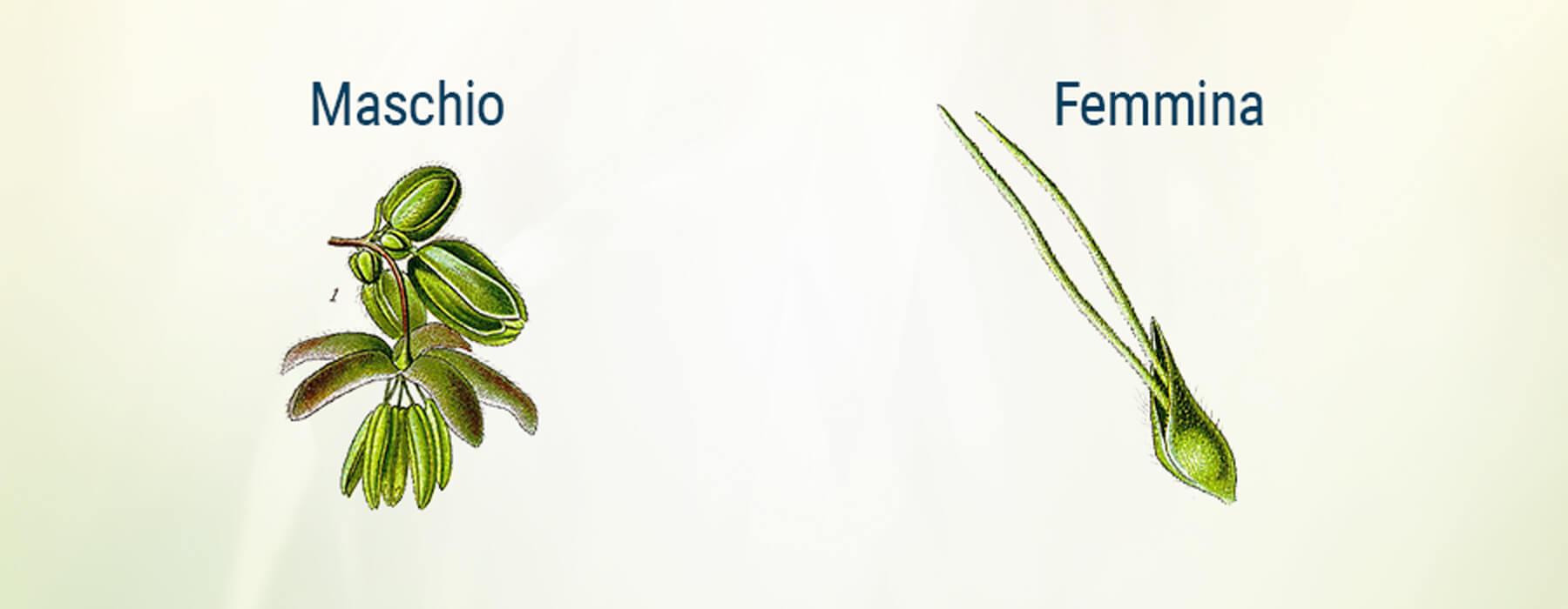 Bratta Femminile Maschio Della Cannabis