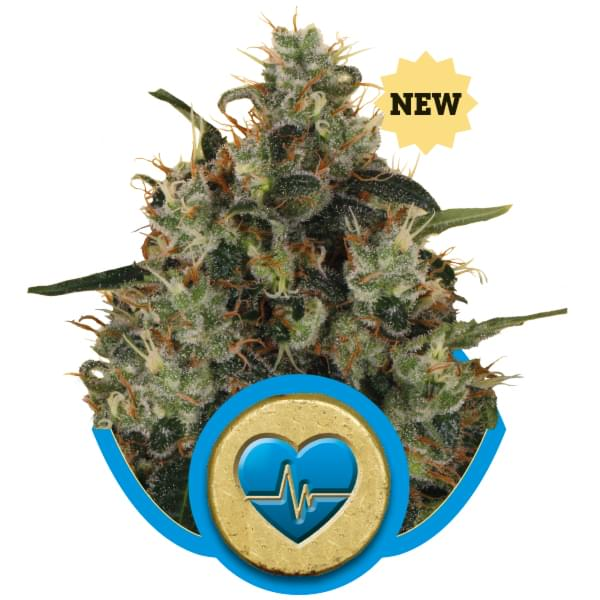 Medical Mass CBD semi di cannabis