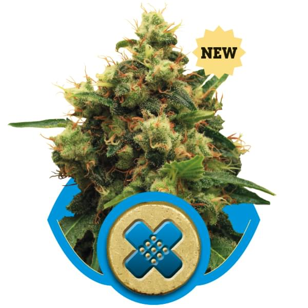 Painkiller XL CBD semi di cannabis