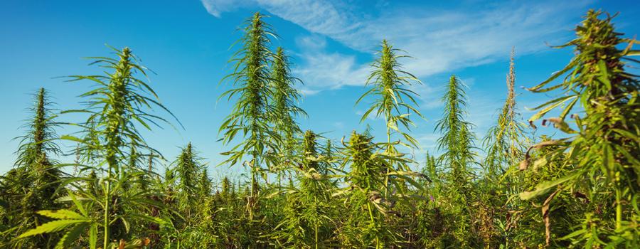 agricoltura Permacultura cannabis naturale integrazione piantare compagno