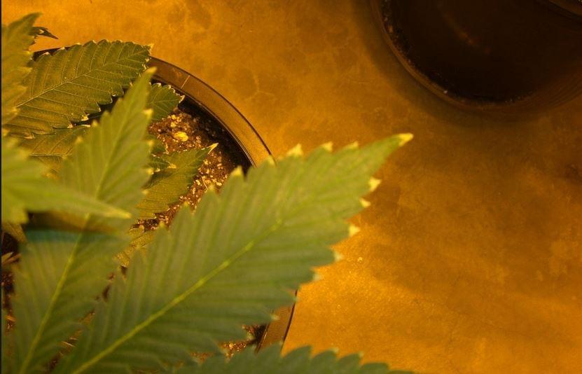 Extra fertilizzazione marijuana