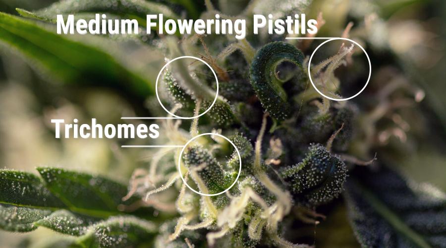 coltivatore cannabinoidi pistilli calici pianta cannabis