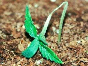 piante Pythium fungo cannabis rilevamento dei problemi