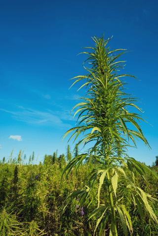 agricoltura Permacultura cannabis naturale integrazione piantare consociazione