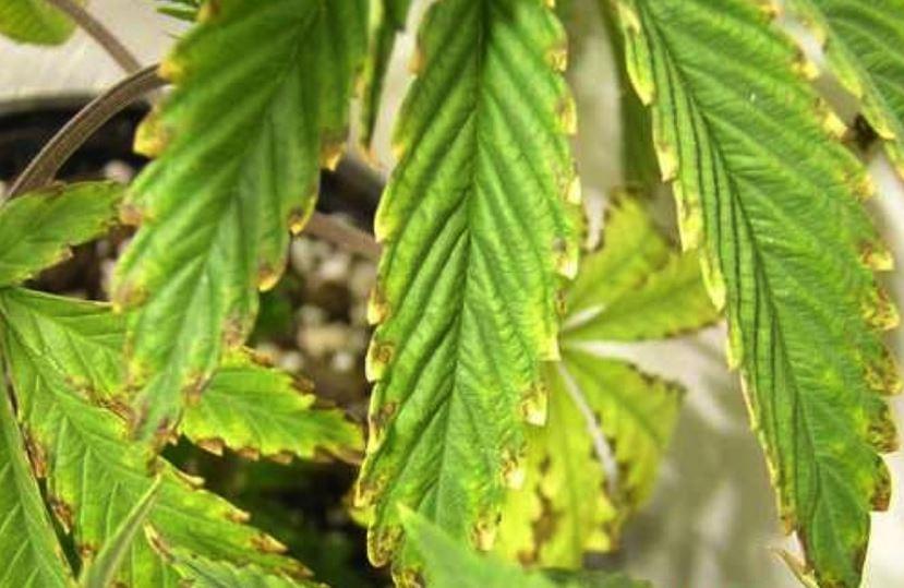 Potassio marijuana