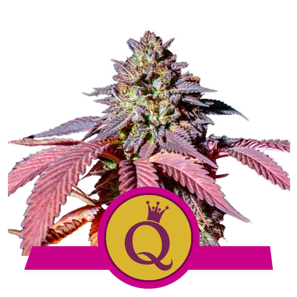 Purple Queen Marijuana Royal Queen Seeds