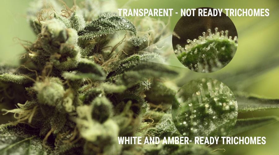 tricomi coltivazione di funghi di marijuana luce UV calice cannabis germoglio