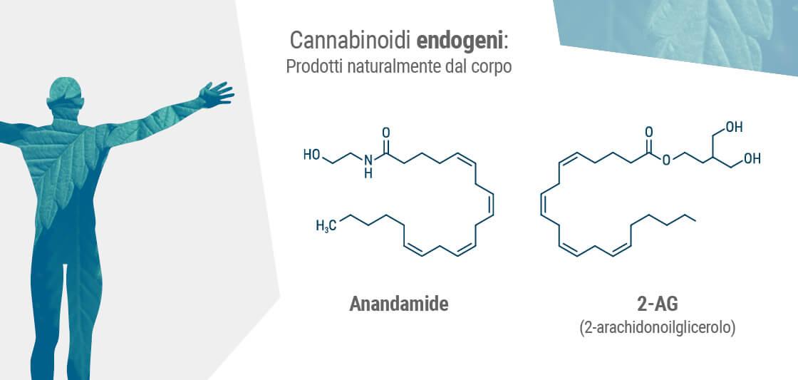 I due endocannabinoidi primari nel nostro corpo sono l'anandamide e il 2-AG.