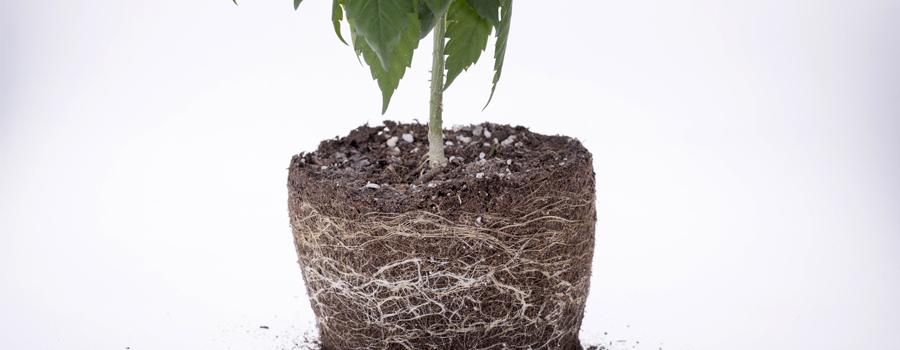 Le radici di cannabis di radici alimentano le piante di ossigeno di drenaggio