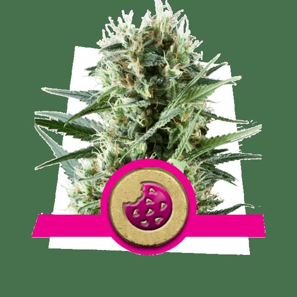 Royal Cookies livelli di dopamina creatività cannabis ceppi aumentare aumentare frontale studio lobo correlativity pensiero divergente ricerca di novità
