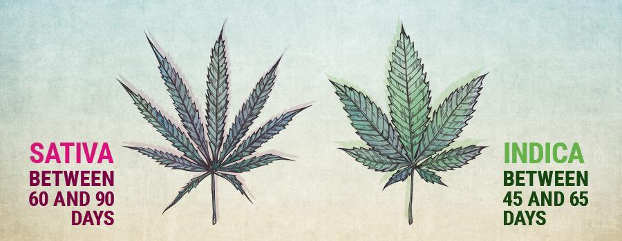 Crescita vegetativa sativa e indica
