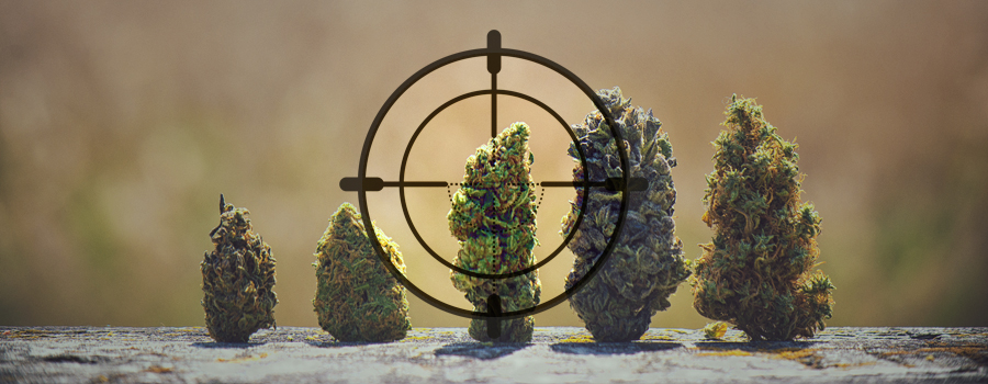 ceppo DNA cacciatore di cannabis landrace India Pakistan Kush in Afghanistan Africa Giamaica