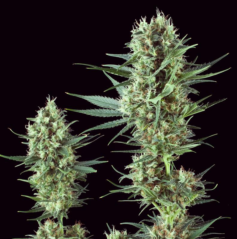 special kush VARIETÀ POVERE IN THC