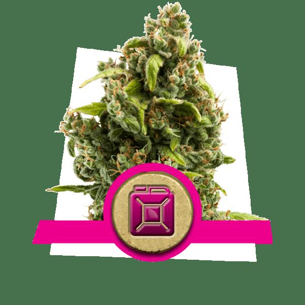 Sour Diesel livelli di dopamina creatività cannabis ceppi aumentare aumentare frontale studio lobo correlativity pensiero divergente ricerca di novità