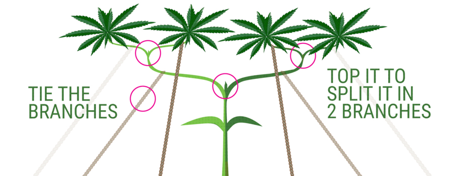 main-lining coltivazione cannabis