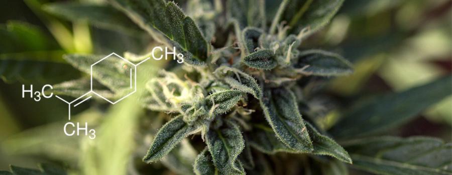 Cannabis Terpenolene terpene