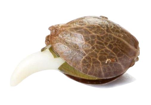 i migliori semi di cannabis