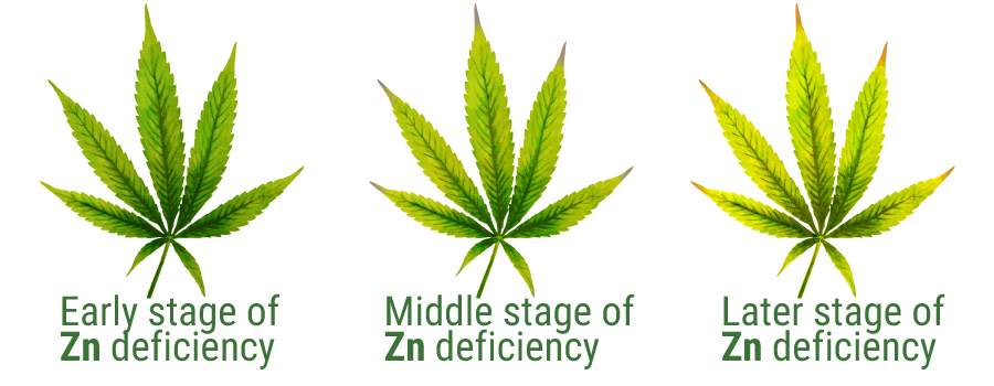 Zinco deficiency cannabis leaves