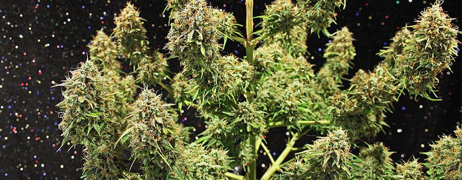 Amnesia Haze Cannabis Climi Caldi