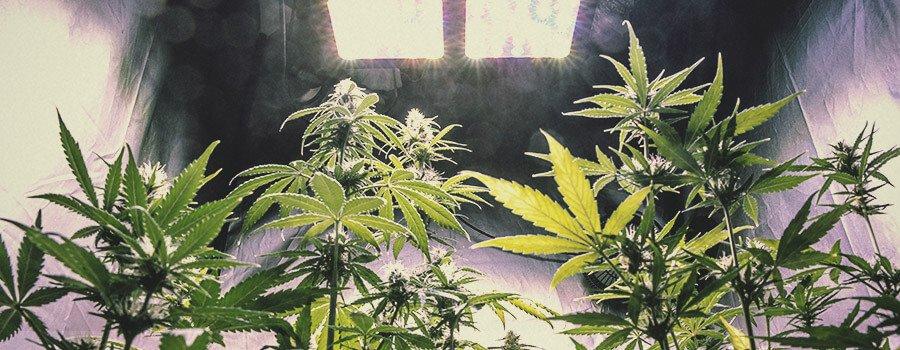 Possiamo aumentare la produzione di cannabinoidi, terpeni o flavonoidi nella pianta?