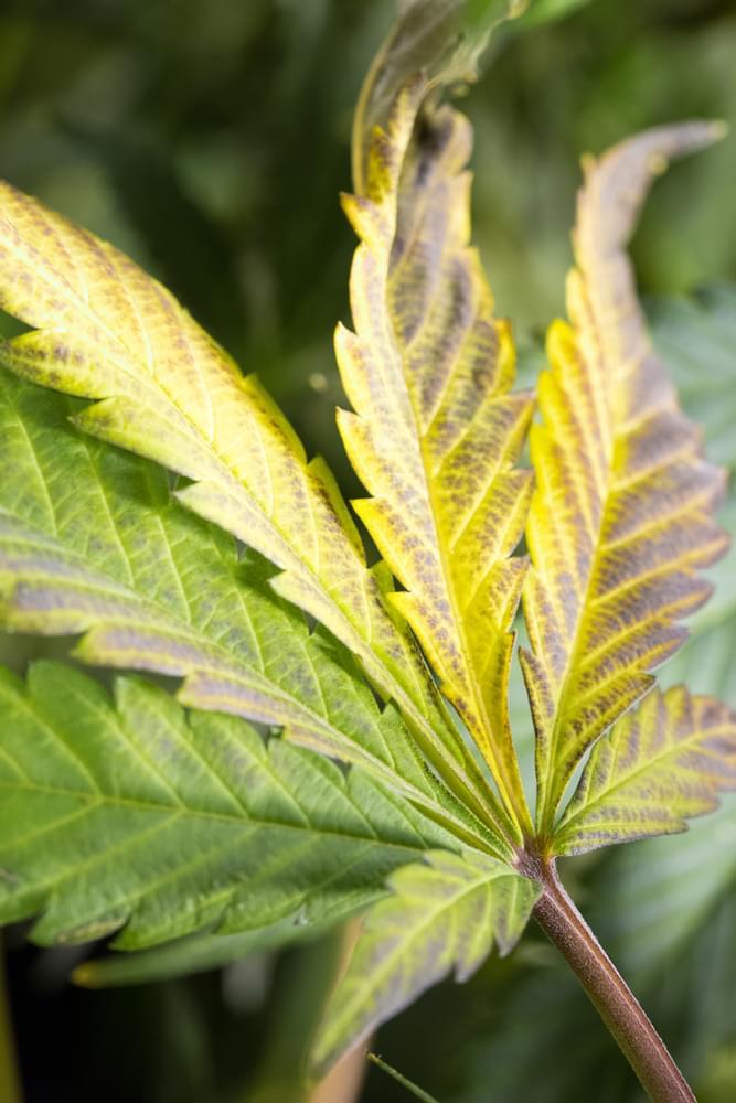foglia di cannabis nutrienti overwatering alimentano le radici
