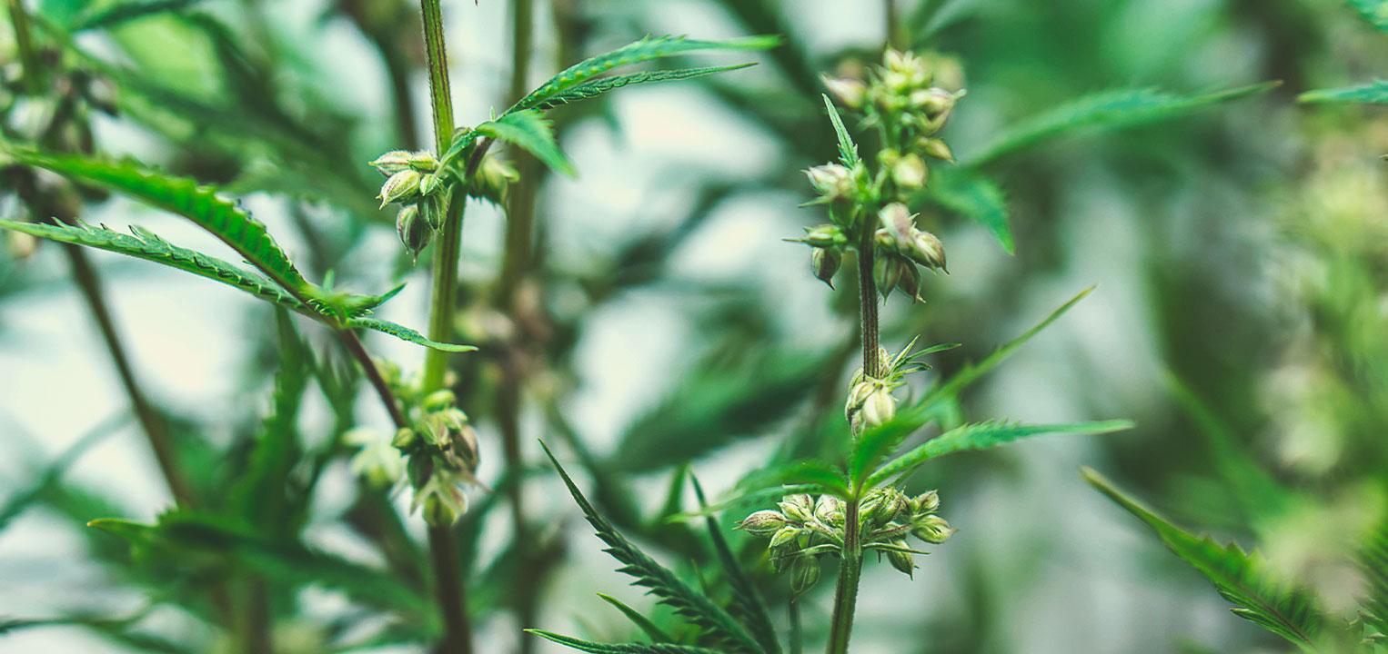 Come vengono ibridati i semi di marijuana terapeutica?