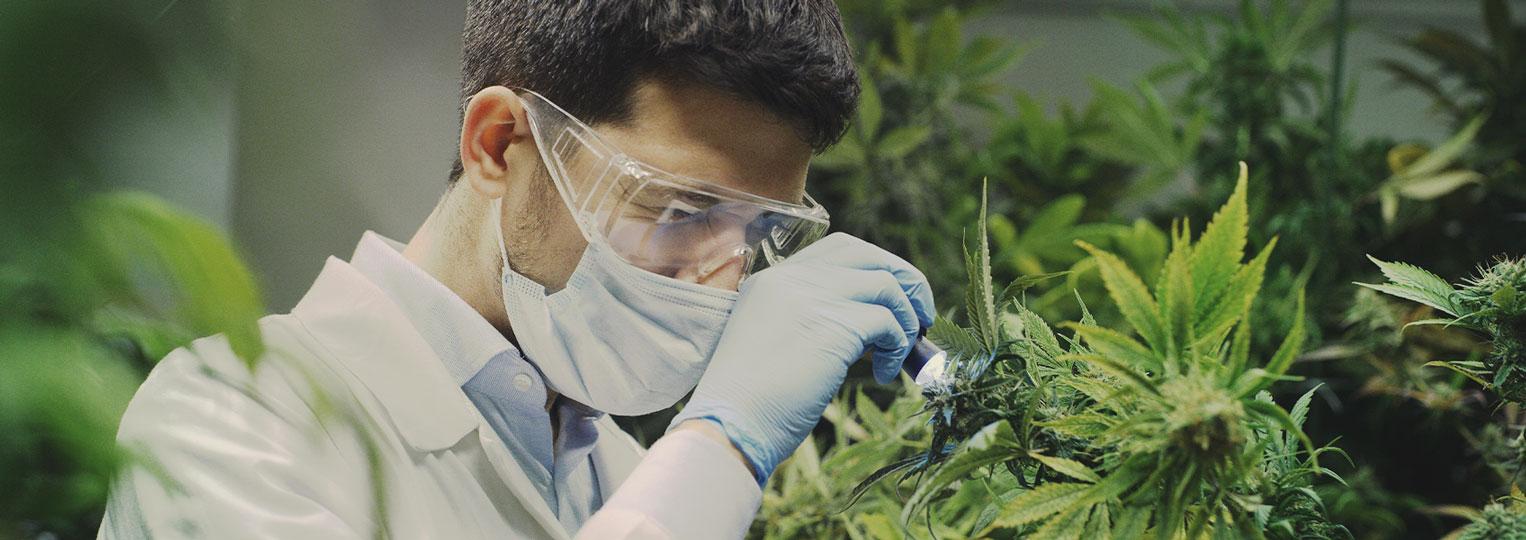 La ricerca sulla cannabis è appena cominciata