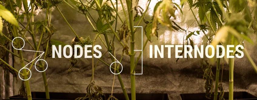 Nodi Internodes Struttura delle piante di cannabis