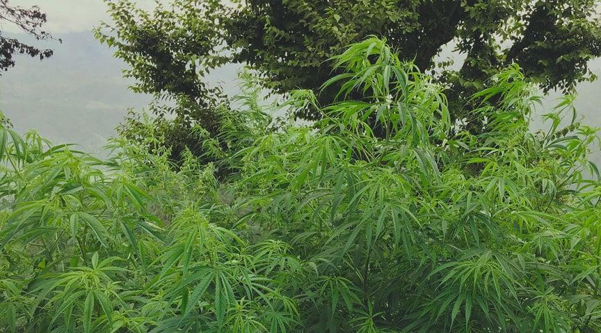 Parole Gergali Riferite alla Pianta di Cannabis