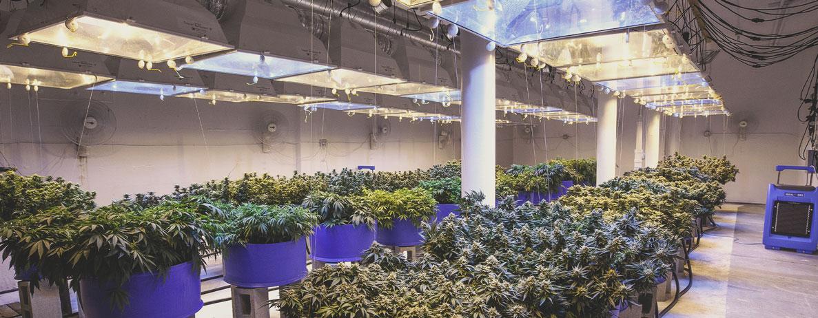 La professionalizzazione della coltivazione della cannabis