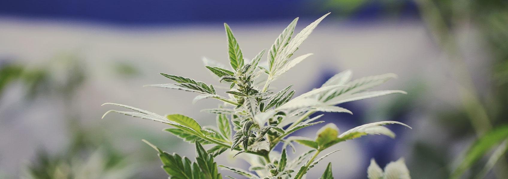 Ricerca sulla marijuana in Israele: Un modello all'avanguardia