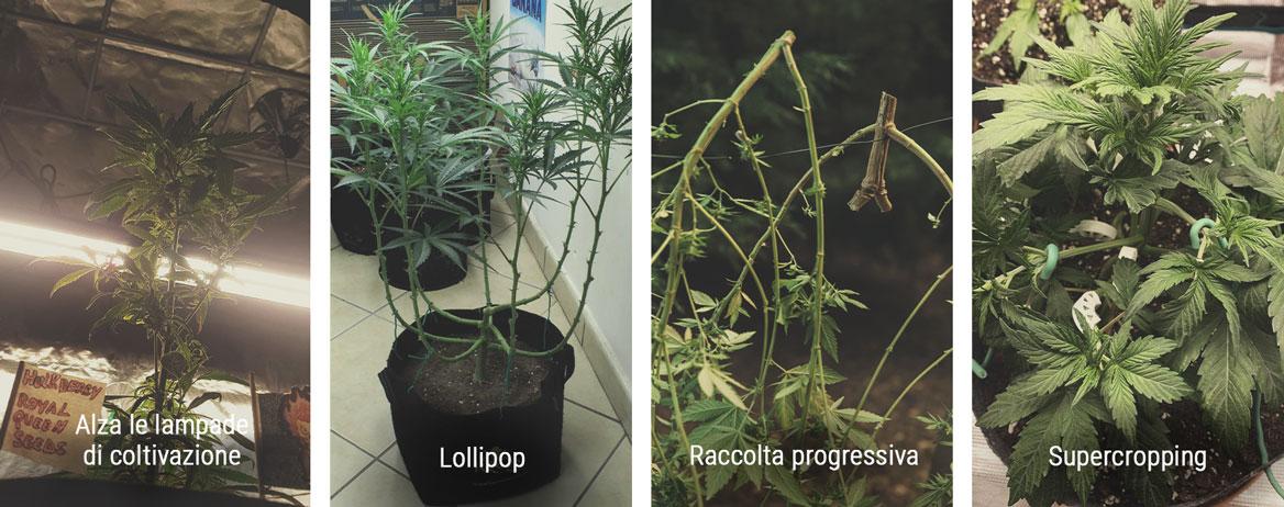 Come controllare l'altezza durante la fase di fioritura
