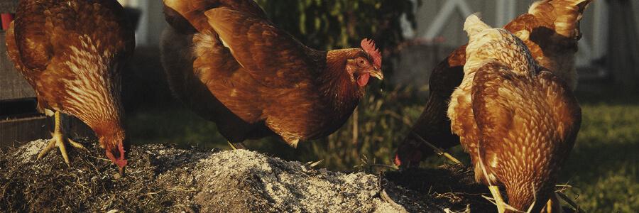 Compost organico di pollo