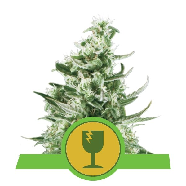 Critical Automatic Royal Queen Seeds