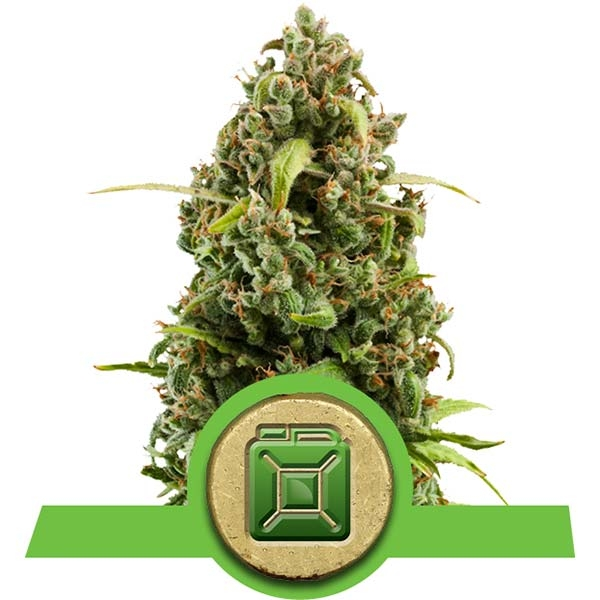 Diesel Automatic Royal Queen Seeds