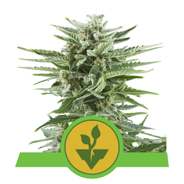 Easy Bud Royal Queen Seeds