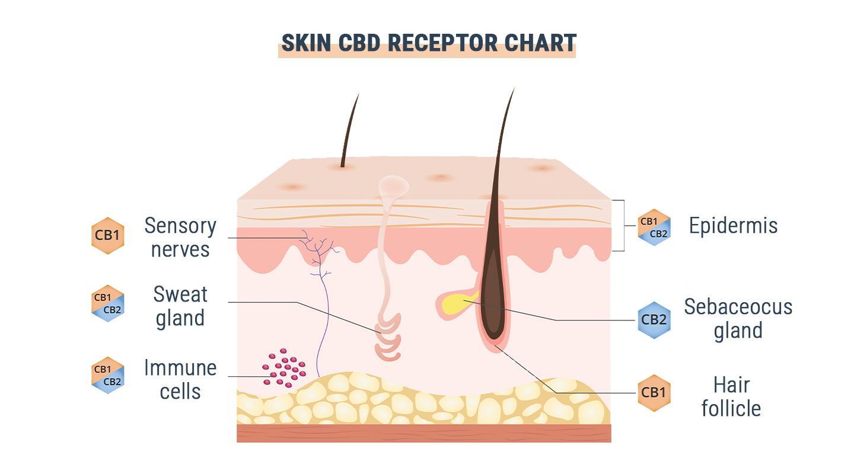 Is GPR55 the Third Cannabinoid Receptor?