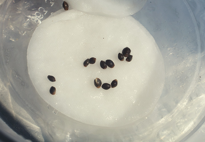 Cannabis germination