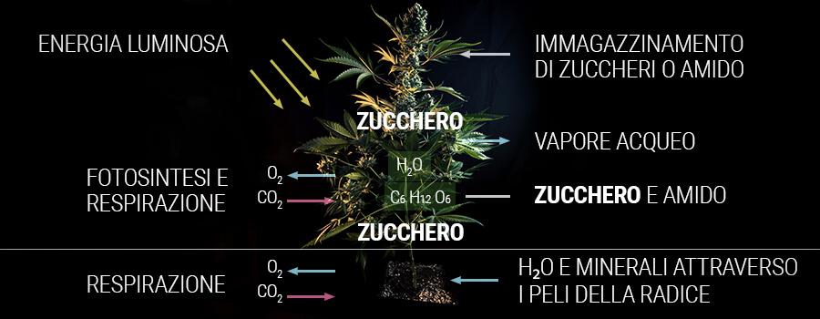 Come una pianta di cannabis produce zucchero