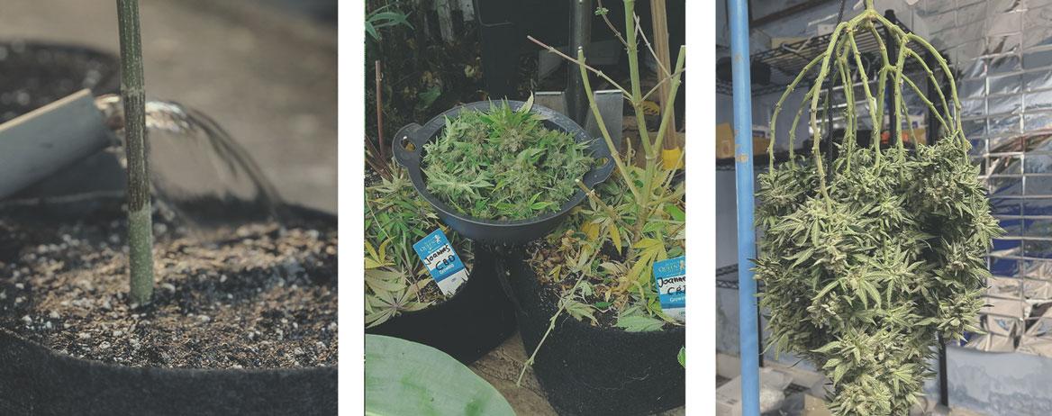 Come coltivare la marijuana medica
