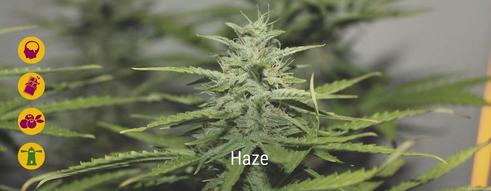 Le migliori varietà di cannabis Haze