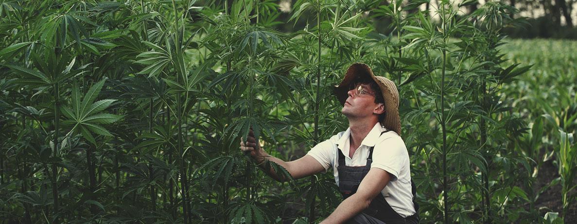 Standard di qualità nella coltivazione della canapa