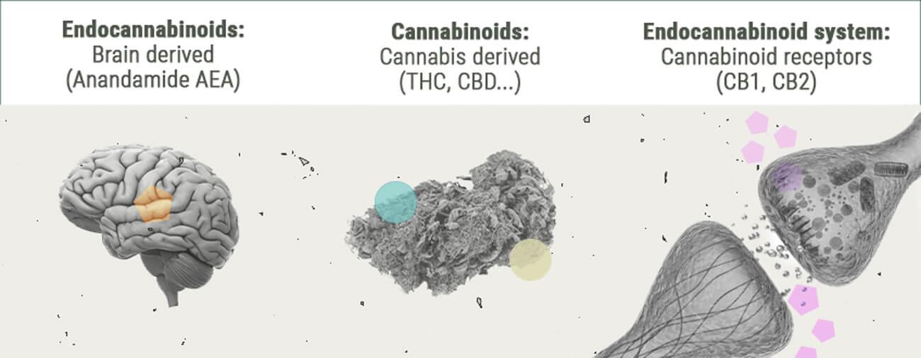 Lo Sballo Generato dalla Cannabis da un Punto di Vista Chimico