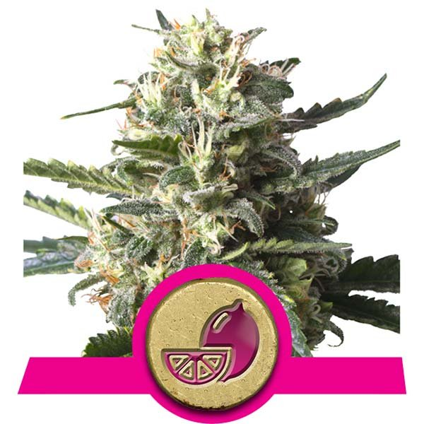 Lemon Shining Silver Haze Royal Queen Seeds