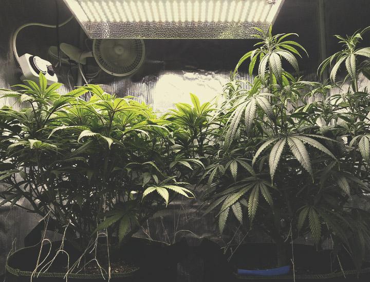 Cannabis Autofiorenti da Coltivare Indoor