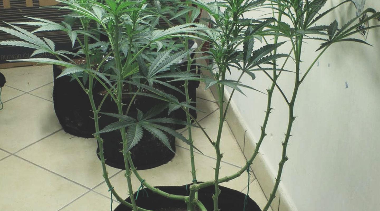 Esegui il lollipopping sulle tue piante