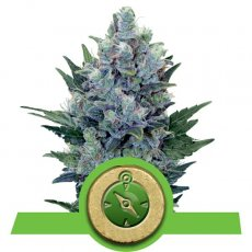Northern Light Auto Royal Queen Seeds Autofiorenti Specie Cannabis