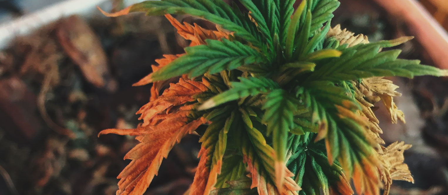 What Cannabis Leaves Can Tell You